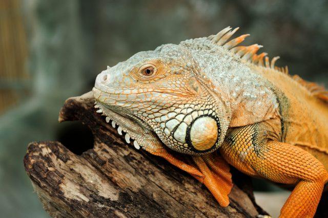 Closeup of a head of a yellow iguana