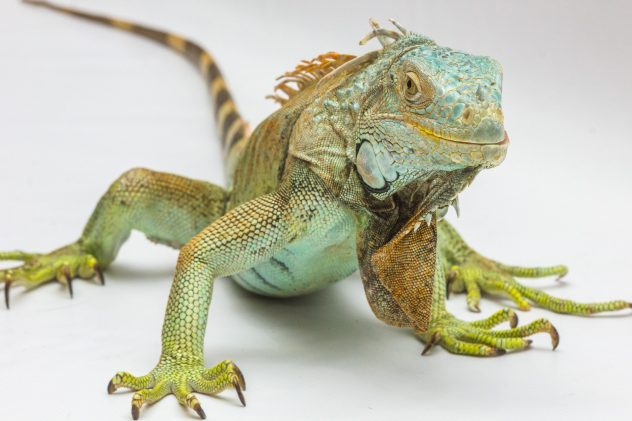 6 Questions You Must Ask Yourself Before Getting An Iguana