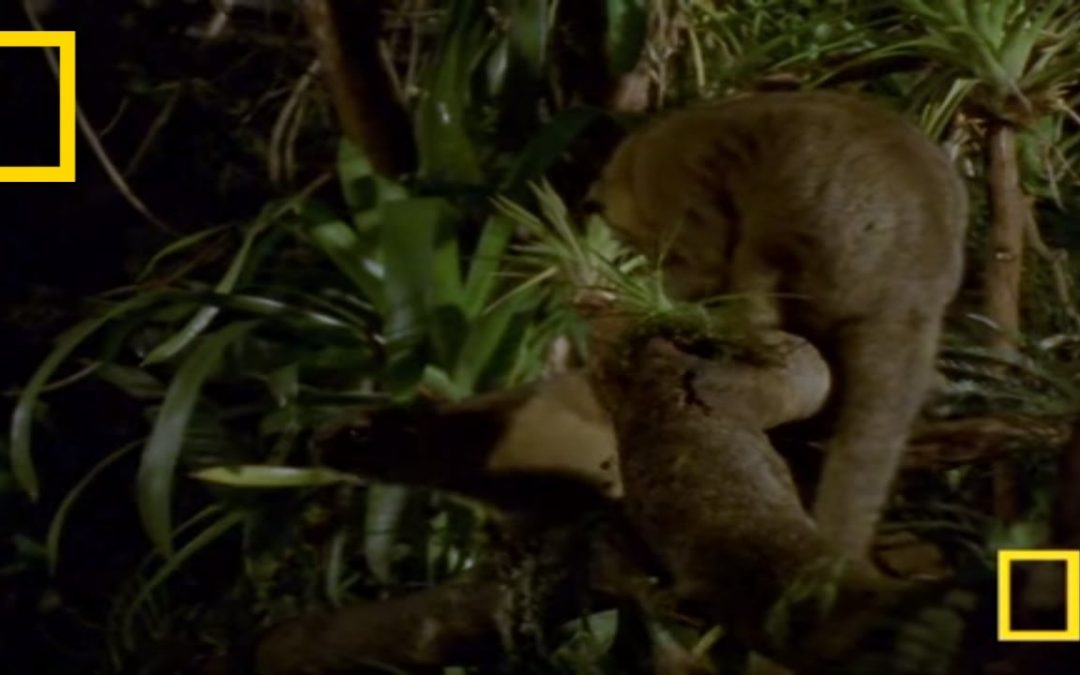 Is the Kinkajou the Right Pet for You?
