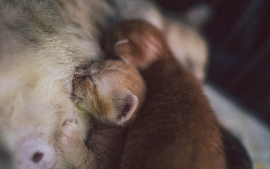 Is Your Cat Expecting? Feline Pregnancy Tips