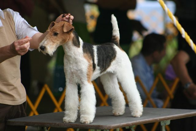 dog show, wirehair fox terrier, dog