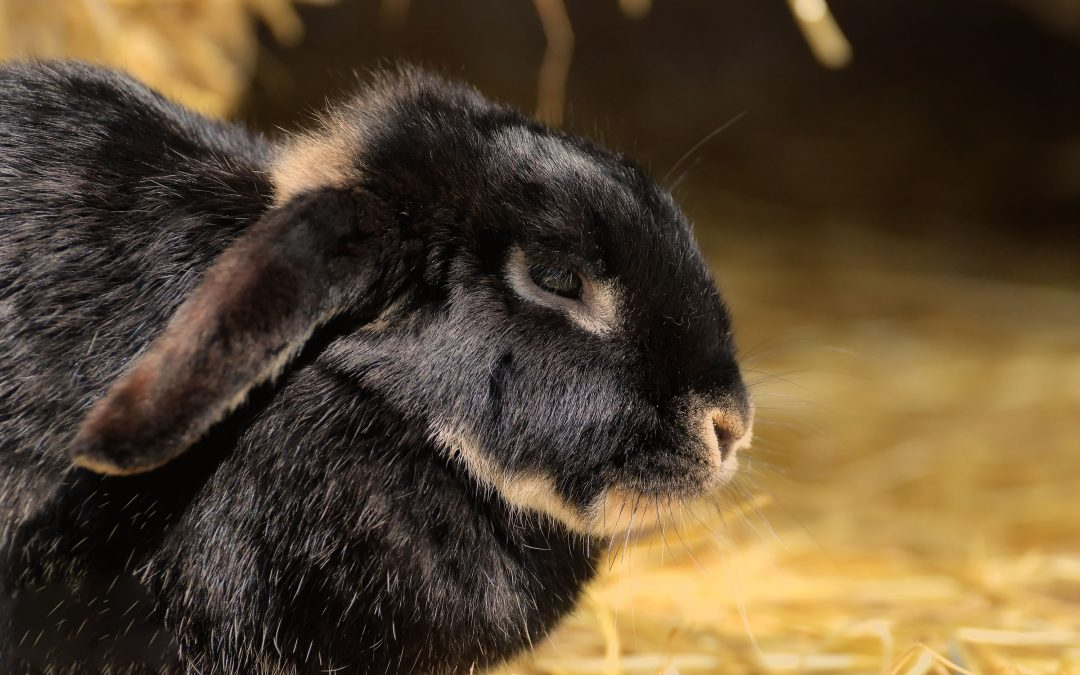 Benefits of Spaying or Neutering Your Pet Bunny