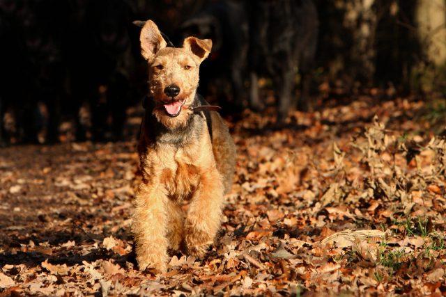 welsh terrier, dog, terrier