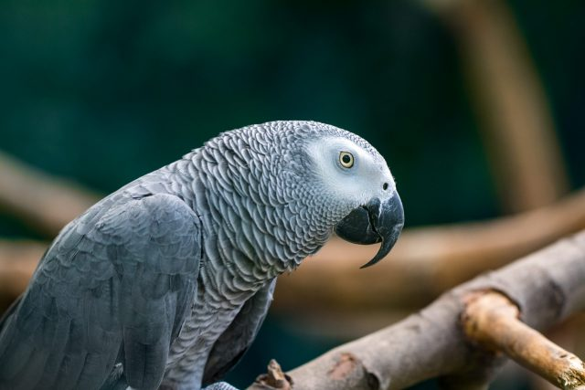 An African Grey Parrot sitting in a wooden branches