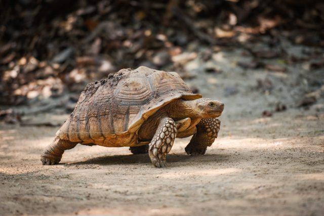 African Sulcata tortoises