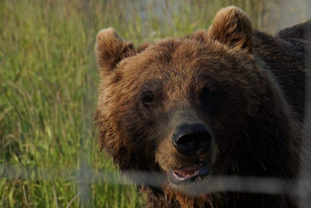 alaska, brown bear, bear