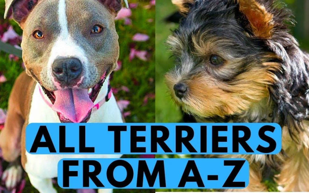 All About the Terrier Group of Dogs