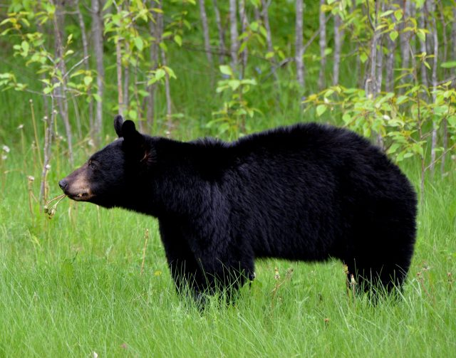 black bear, animal, nature