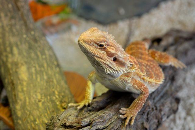 Bearded dragon on ground