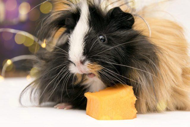 A fluffy spotted guinea pig eats some pumpkin.