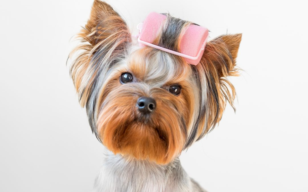 Yorkshire terrier dog with curlers on its fur.