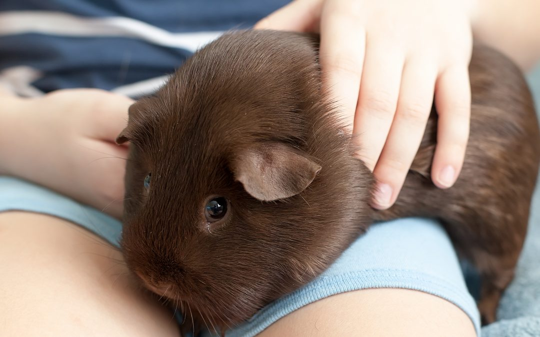 The Best Guinea Pig Care Resource Guide