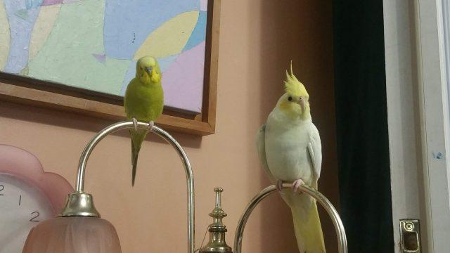 pet birds, budgie and cockatiel