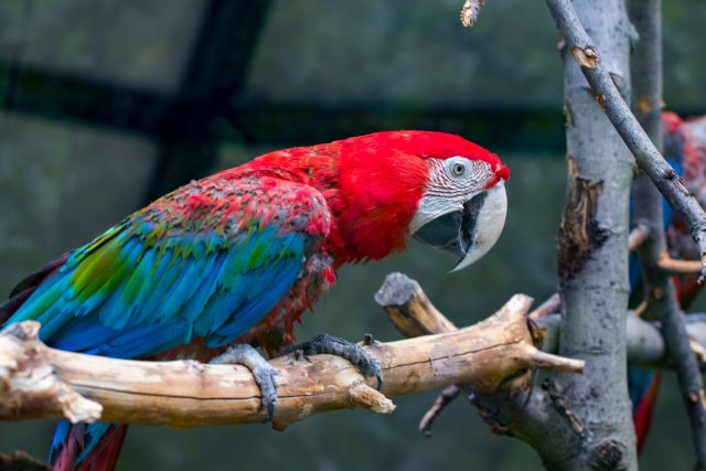 Scarlet Macaw in a Custom Cage at Home