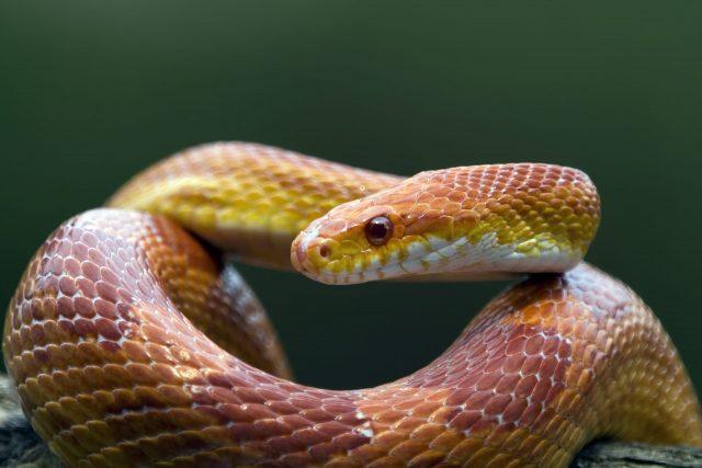 A pet red corn snake