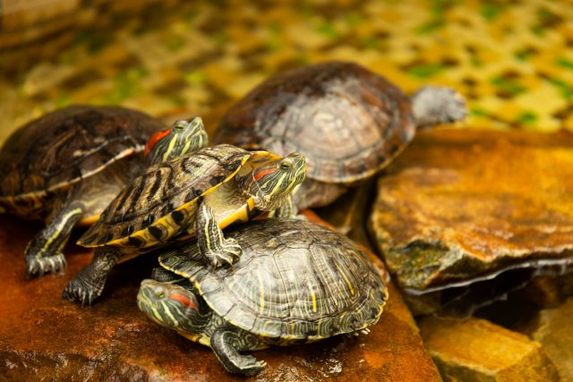 Red-eared turtles. AKA Pond Slider Trachemys scripta elegans sunbathes on a rock in the water. Selective focus.