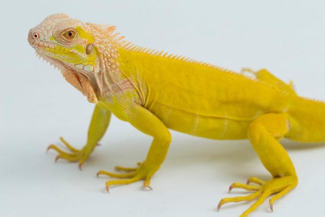 Picture of an Yellow Albino Iguana