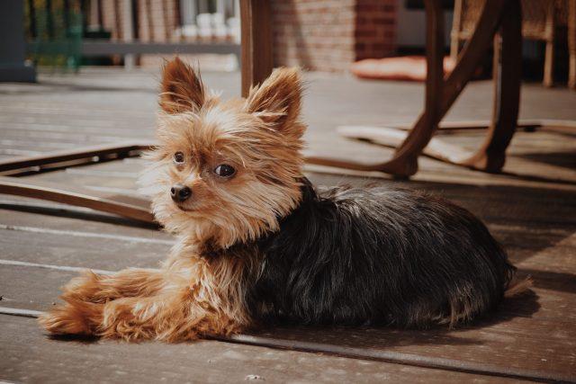 yorkie, puppy, dog, yorkshire terrier