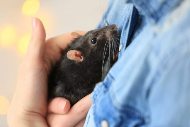 Young woman holding a pet rat