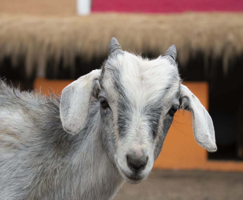 Goats are becoming popular pets