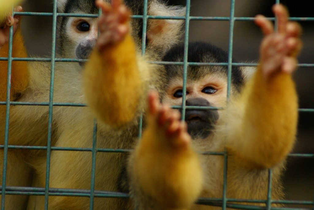 Photo of a pet squirrel monkey in a cage