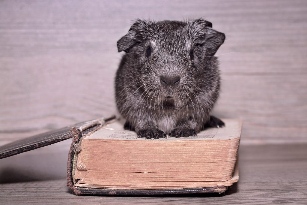Young guinea pig sitting on a book