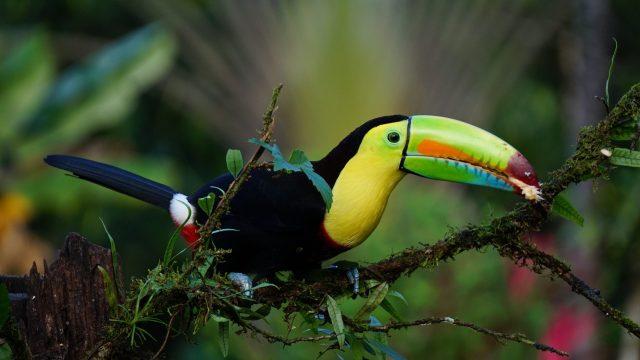 keel billed toucan, costa rica, bird